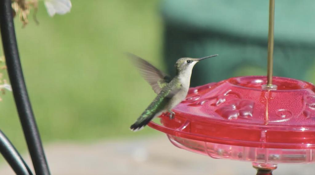 Hummingbird in Calgary Garden
